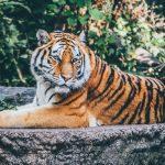 porter des bijoux tigre