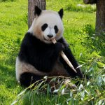 accessoire panda